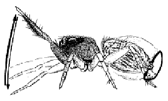 A diagram of the movement of the male jumping spider mating ritual (from Noordam 2002)