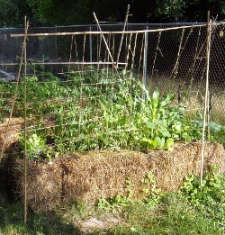 Straw bale garden with bamboo supports